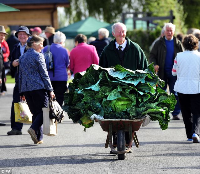 Peter Glazebrook wheels his prize-winning cabbage weighing almost 82 pounds. Story and photo: Daily Mail online, U.K. Photo copyright: PA