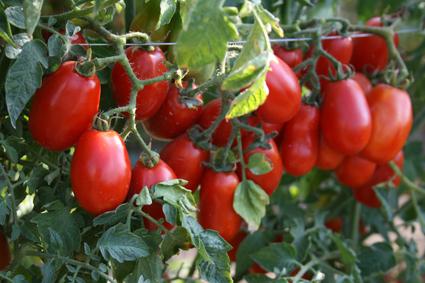 Corbara tomatoes