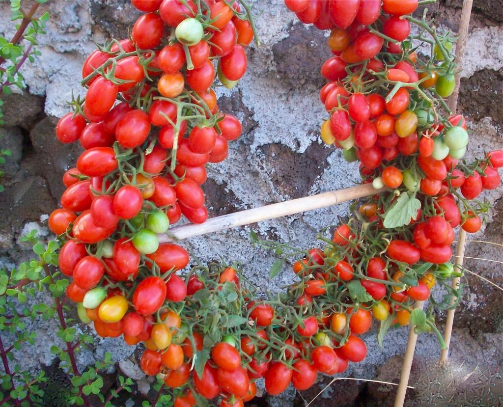 """Datterini (""""little dates) pomodorini from Pantelleria. Credit: Pietra Gaetano Catolano, Oltremare, Pantelleria (Sicily)"""