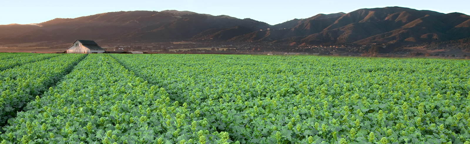 Andy Boy rapini fields in Salinas, California. | Photo: Courtesy D'Arrigo Brothers/Andy Boy