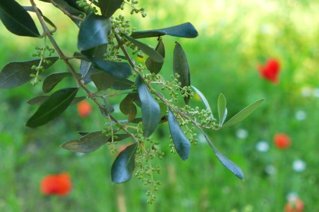 Buds on olive branch, Miggiano, Puglia. Credit: Nathan Hoyt