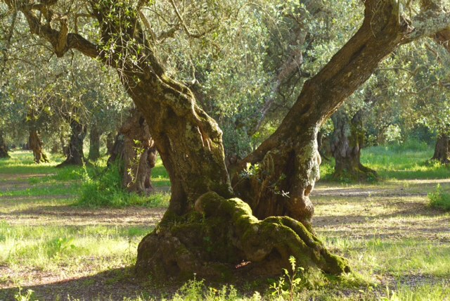 Ancient olive tree in Azienda Agricola Merico Maria Rosa's olive groves. Credit: Nathan Hoyt