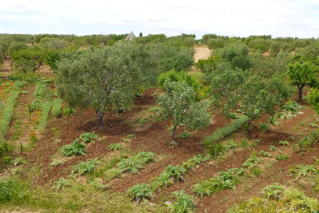Antonio Bartolomeo's garden in the middle of olive groves, Toritto countryside. | Photo: Nathan Hoyt