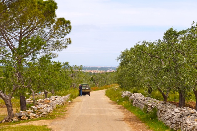 Outside the city walls, olive trees as far as the eye can see. | Photo: Nathan Hoyt