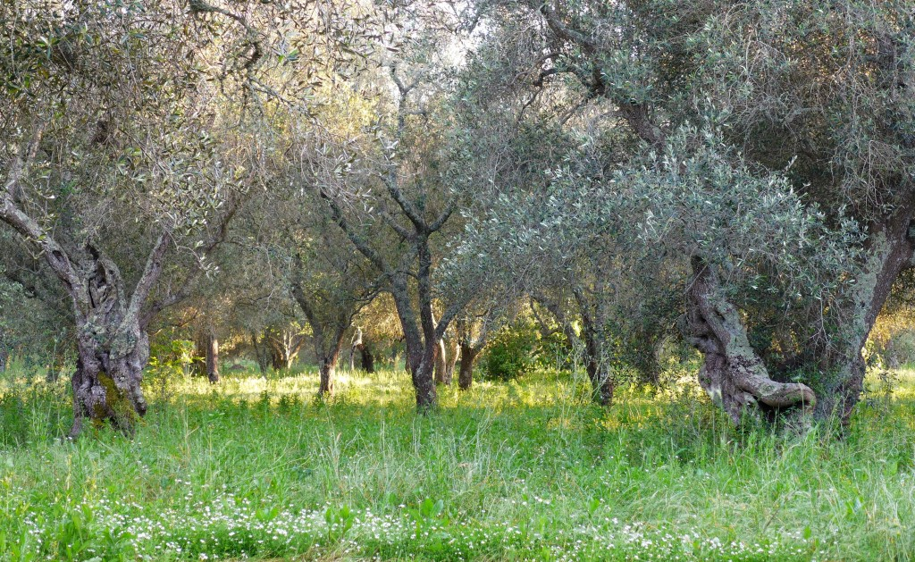 Olive groves, Puglia. Photo: Nathan Hoyt