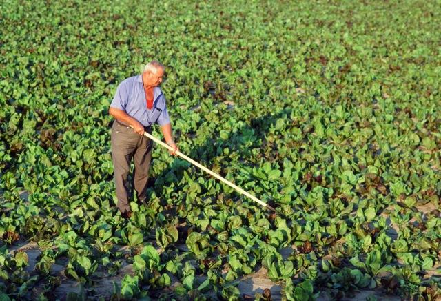 Radicchio farmer.