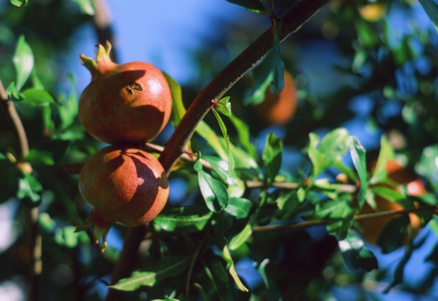 Pomegranates, a favorite fruit of the Veneto.