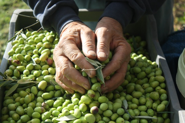 Hand-picking olives for oil at harvest time. | Photo: Copyright Celina della Croce/Forktales, 2016